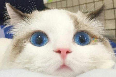 布偶猫价格多少钱一只「市场价」-图1