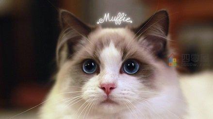 布偶猫价格多少钱一只「市场价」-图2