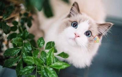 布偶猫价格多少钱一只「市场价」-图3