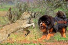 藏獒和狼谁厉害?藏獒和狼打架的结果
