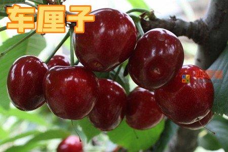 车厘子和樱桃的区别「4个不同」第1张图